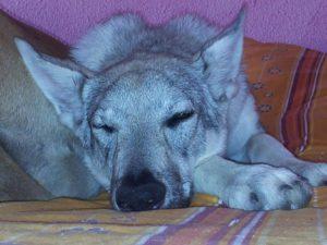 apprendre a son chien a rester seul chien dressage éducation positive dog training agility enteteatruffe éducateur canin dresseur CLT chien loup tchécoslovaque