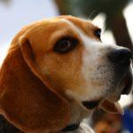 dressage beagle avis